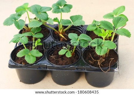 Young elsanta garden strawberry plant (Fragaria) in plastic flowerpot ready to be transplanted to garden - stock photo