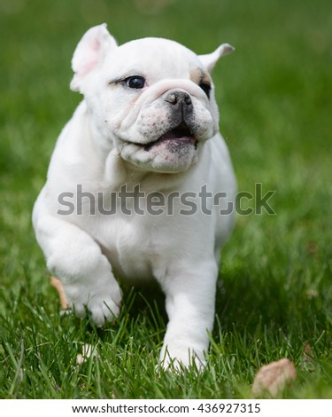 young english bulldog puppy playing outside in the grass