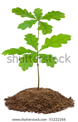 Young English oak (Quercus robur). Closeup on white. - stock photo
