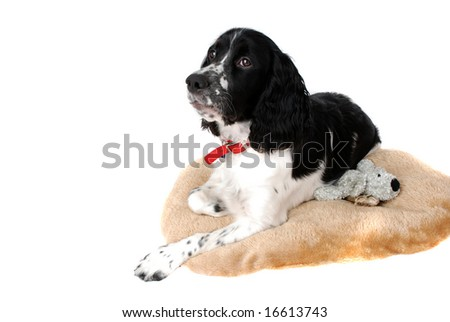 young english springer spaniel sitting on her bed