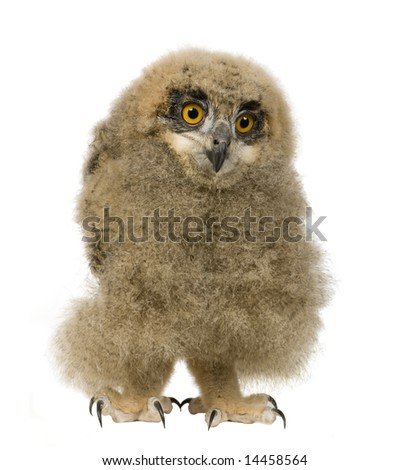 young Eurasian Eagle Owl - Bubo bubo (6 weeks) in front of a white background - stock photo