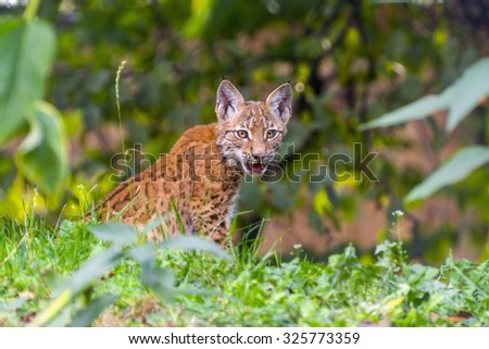 Young Eurasian lynx (Lynx lynx) sitting in the grass