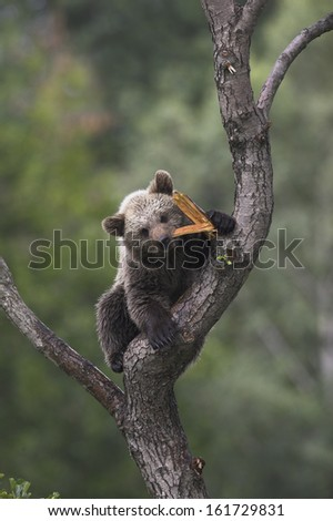 young european brown bear, ursus arctos