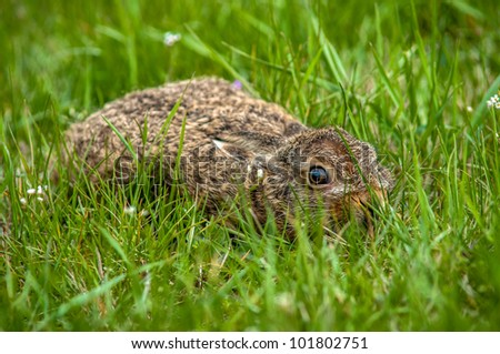 young European Hare in the grass - stock photo