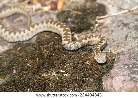 young european horned viper ( Vipera ammodytes ) in natural habitat, image taken in Romania on wild specimen in situ - stock photo