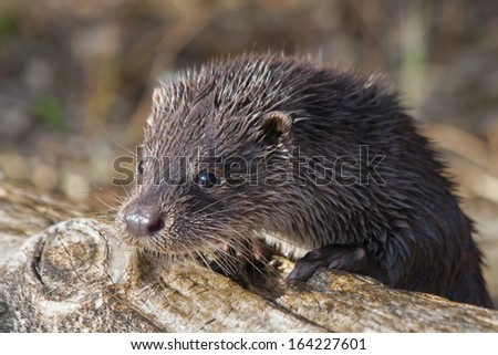 Young European otter (Lutra lutra)