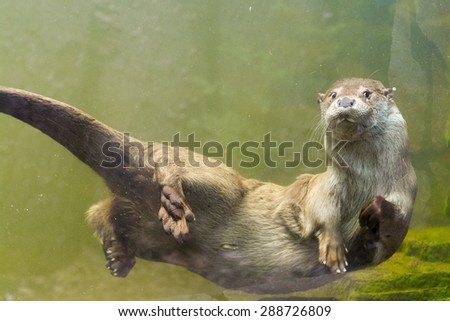 Young European otter (Lutra lutra lutra) is swimming