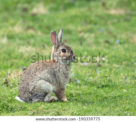 Young European Rabbit sitting alert with ears up. - stock photo