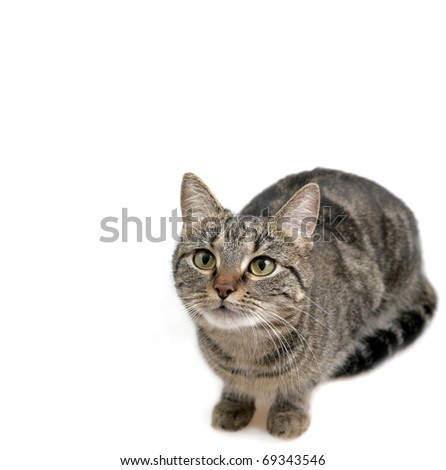 Young European Shorthair in front of a white background - stock photo