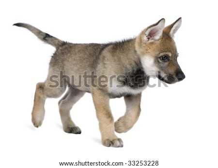 Young European wolf, (Canis lupus lupus) in front of a white background - stock photo
