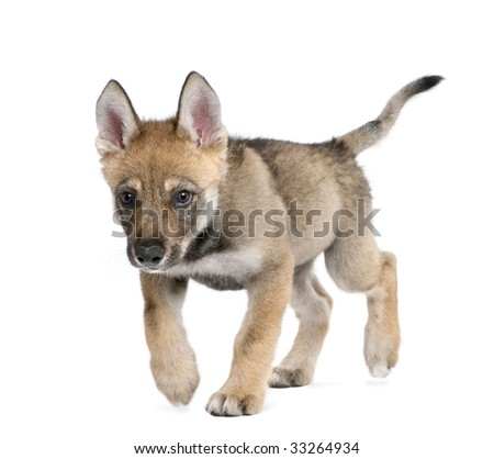 Young European wolf - Canis lupus lupus in front of a white background - stock photo