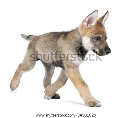 Young European wolf running - Canis lupus lupus in front of a white background - stock photo