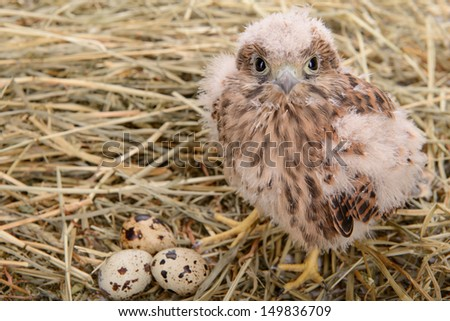 young falcon bird with eggs sitting in a straw nest - stock photo