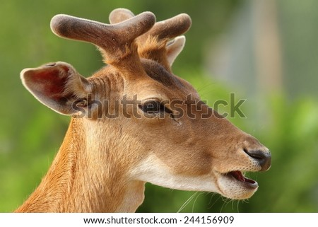 young fallow deer buck portrait over green out of focus natural background - stock photo