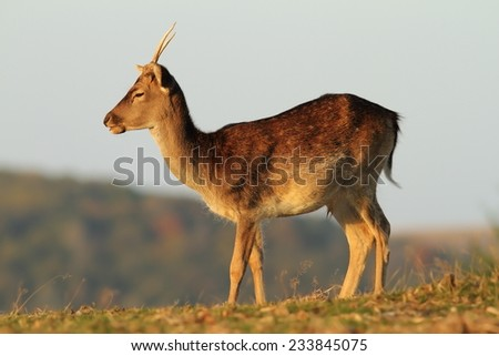 young fallow deer stag ( Dama )  standing alone in a glade - stock photo