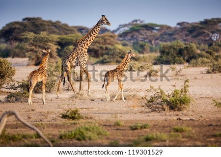Young family of giraffe - stock photo