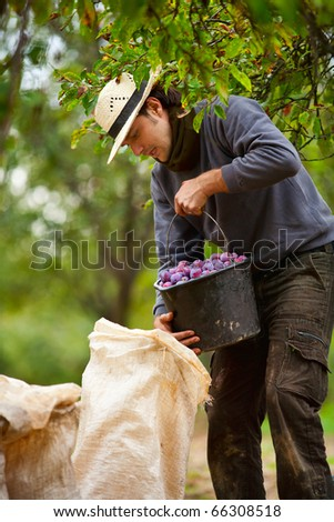 Young farmer emptying a bucket of plums in sacks - stock photo