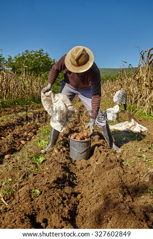 Young farmer harvesting potatoes at countryside