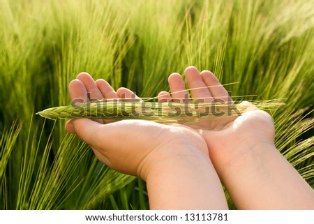 Young farmers hand holding green wheat. - stock photo
