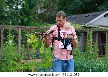 Young father and baby with baby Sling Carrier pull the beets in the garden - stock photo