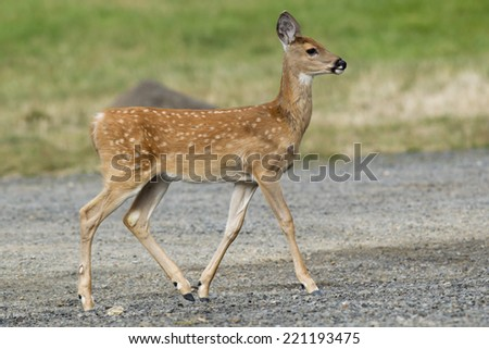Young fawn in park in Heyburn State Park in Idaho. - stock photo