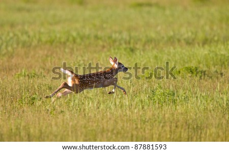 Young Fawn running in a field Saskatchewan - stock photo