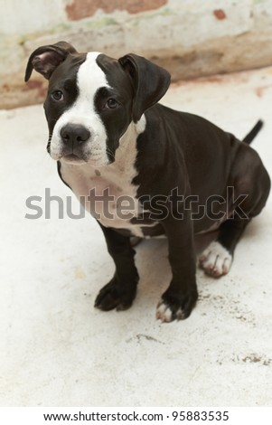 Young feisty Pit Bull puppy