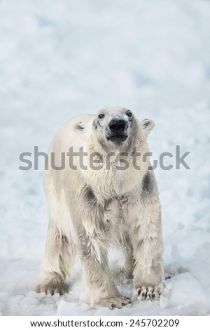 Young female at polar bear on snow,  polar bear emerged from water, portrait of a polar bear, Young white bear on snow - stock photo