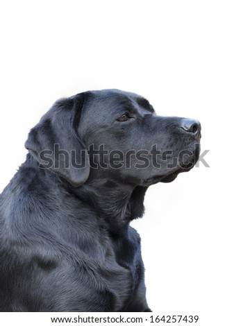 Young female black labrador retriever isolated on a white background