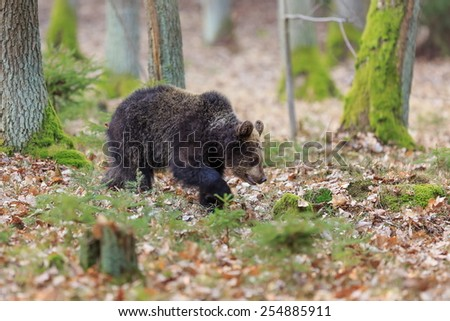 young female brown bear - stock photo