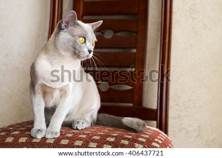 Young female Burmese cat staring at right - stock photo