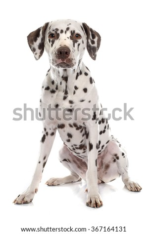 young female dalmatian in front of white background - stock photo