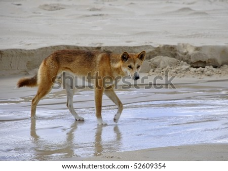 young female Dingo on Fraser island beach - stock photo