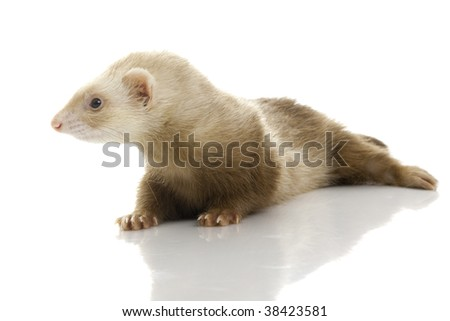 Young female ferret. Isolated over white background.