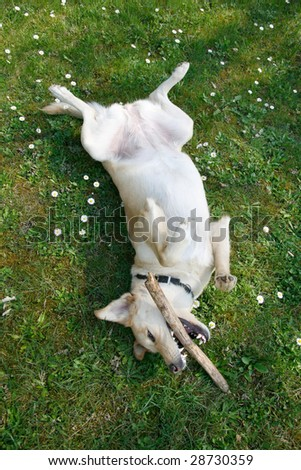 Young female labrador playing on her back with stick in the spring grass and flowers - stock photo