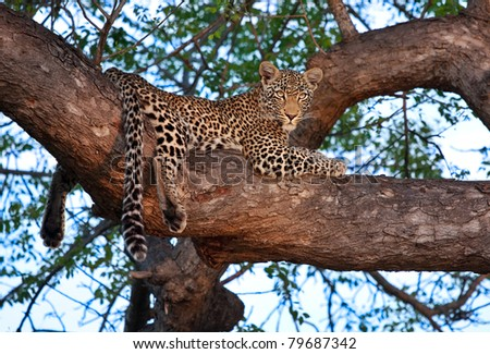 young female leopard on branch of big tree in Sabi Sand nature reserve, South Africa - stock photo