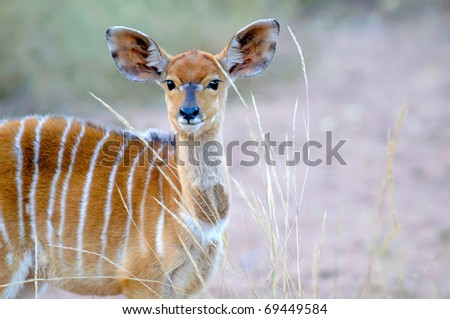 young female nyala standing in the grassland