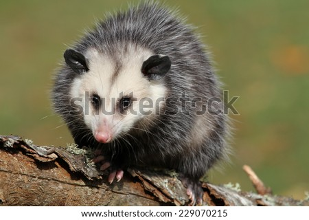 young female possum on branch - stock photo