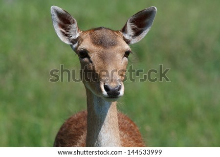 Young female sika deer on a background of green meadows