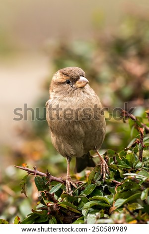 Young female sparrow (Passer domesticus) in a bush - stock photo