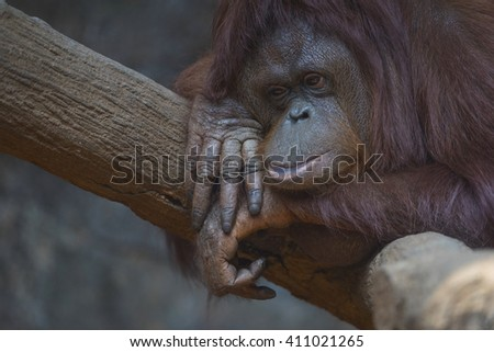 Young Female Sumatran Orangutan Napping At Branch