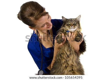 young female vet examining large Maine Coon cat - stock photo