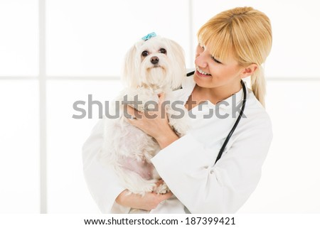 Young female veterinary holding a maltese dog at the doctor's office