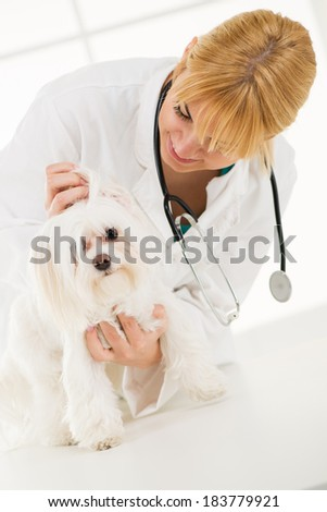 Young female veterinary surgeon examining the ears of a maltese dog.