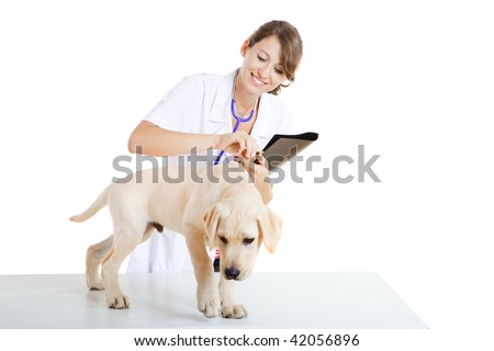 Young female veterinary taking care of a beautiful labrador dog