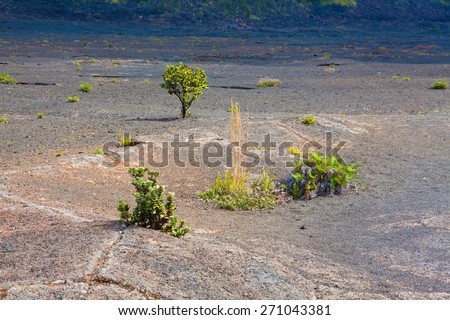 Young ferns and ohia lehua plants growing through old lava at the barren bottom of Kilauea Crater in Hawaii Volcanoes National Park, Big Island, Hawaii - stock photo
