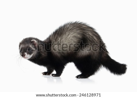Young ferret isolated on white background - stock photo