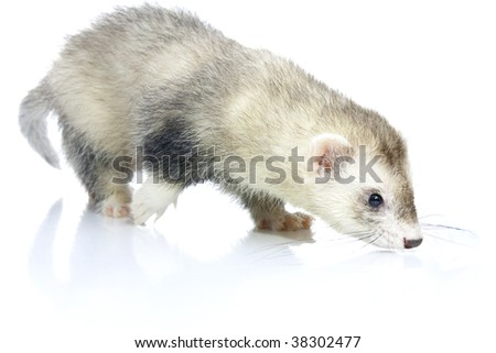 Young ferret. Isolated over white background.