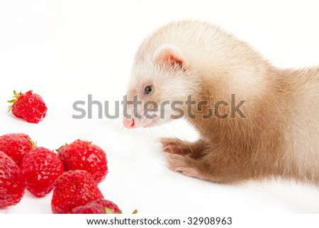 Young ferret with a bowl of strawberry over white.