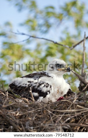 Young Ferruginous hawk chick in the nest, his flight feathers just beginning to grow.  Raw remains of a recent meal lay beside him. - stock photo